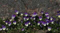 Heartsease flowers (Viola tricolor) - stock footage
