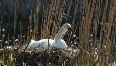 Mute Swan nesting Stock Footage