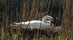 Mute Swan nesting Stock Footage