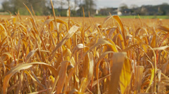 Close up crops in the wind Stock Footage