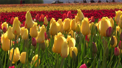 Oregon Wooden Shoe Tulip Festival 2014 Stock Footage