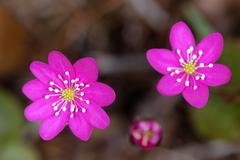 hepatica is a genus of herbaceous perennials in the buttercup family, native - stock photo