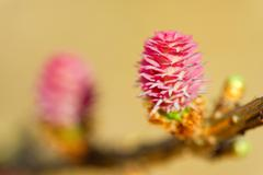 young ovulate cones of larch tree - stock photo