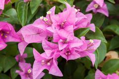 Bougainvillea flowers Stock Photos