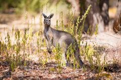 Stock Photo of Kangaroo looking for enemies