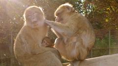 Apes family. animal monkey background - stock photo