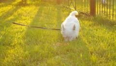 Adorable Westie walking in the meadow near fence in the evening Stock Footage