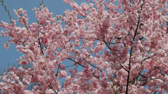 Flowering cherry tree densely covered Stock Footage