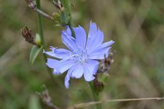 Chicory flower - stock photo
