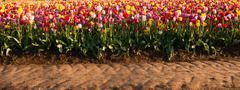 neat rows tulips colorful flowers farmer's bulb farm tractor path - stock photo