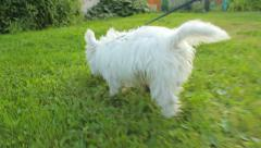 White young little dog walking in the yard, close-up, following Stock Footage