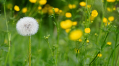 Dandelion with seeds Stock Footage