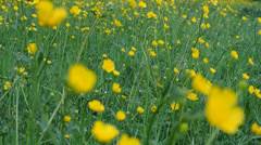 Meadow of buttercups Stock Footage