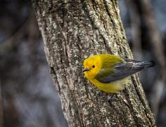 prothonotary warbler - stock photo