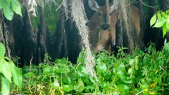 Whitetail Deer Swamp Stock Footage
