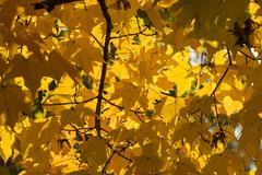 Autumn yellow maple leaves background Stock Photos