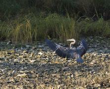 great blue heron - stock photo
