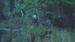 Wild Boar Hogs Stock Footage