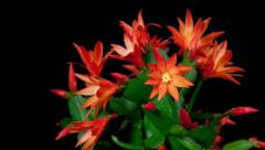 Red easter cactus flower opening and closing timelapse 4k Stock Footage