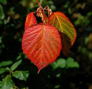 Stock Photo of Bright red fall leaf in sunshine