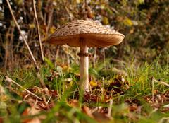 Parasol mushroom at ground level - stock photo