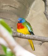 Scarlet chested parakeet Stock Photos