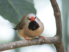 Shaft-tail finch Stock Photos