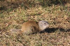 Gopher in the Wild - stock photo