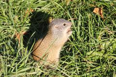 Gopher in the Grass Stock Photos