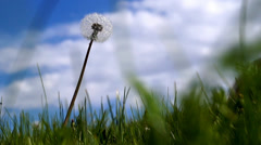 Dandelion close up on blue sky background Stock Footage