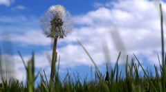Dandelion close up on blue sky background - stock footage