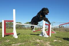 rottweiler in agility - stock photo