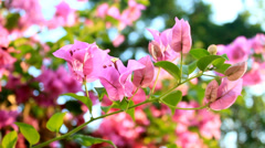 Many dark pink bougainvillea flowers Stock Footage