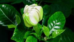 Gardenia flower blooming timelapse in 4k Stock Footage