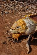 Closeup of a Galapagos land iguana Stock Photos
