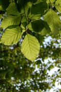 Underside of green beech leaves Stock Photos