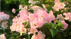 Bougainvillea pink  flower Stock Footage