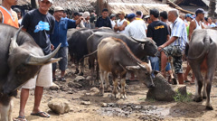 Buffalo and other animals at market in the island of Negros, Philippines Stock Footage