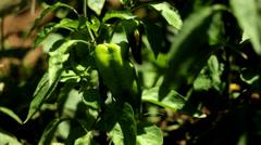 Peppers In Garden Stock Footage