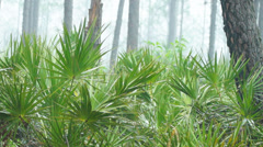 Saw Palmetto (Serenoa repens) or Cabbage Palm in a Florida  Stock Footage