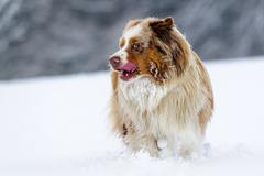 Australian Shepherd stick out one's tongue and look left in cold winter on snowy Stock Photos