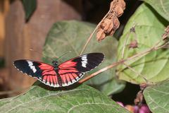 Stock Photo of Cattleheart Swallowtail butterfly, amazonia rainforest, Ecuador, south america