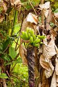 Banana Tree, South America Stock Photos