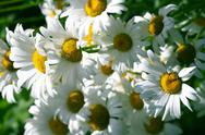 Stock Photo of camomile