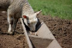 Lamb eating from a trough Stock Photos