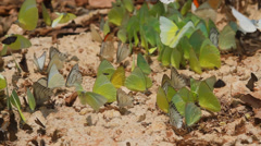 Group of butterflies eating salty soi. - stock footage