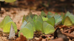 Group of butterflies eating salty soi. Stock Footage