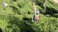 Tea estate workers picking tea on plantation Stock Footage