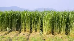 Napier Grass Farm Plants (Pennisetum purpureum) Food for Animal - stock footage