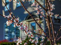 Cherry Blossoms in Small Town America Stock Photos